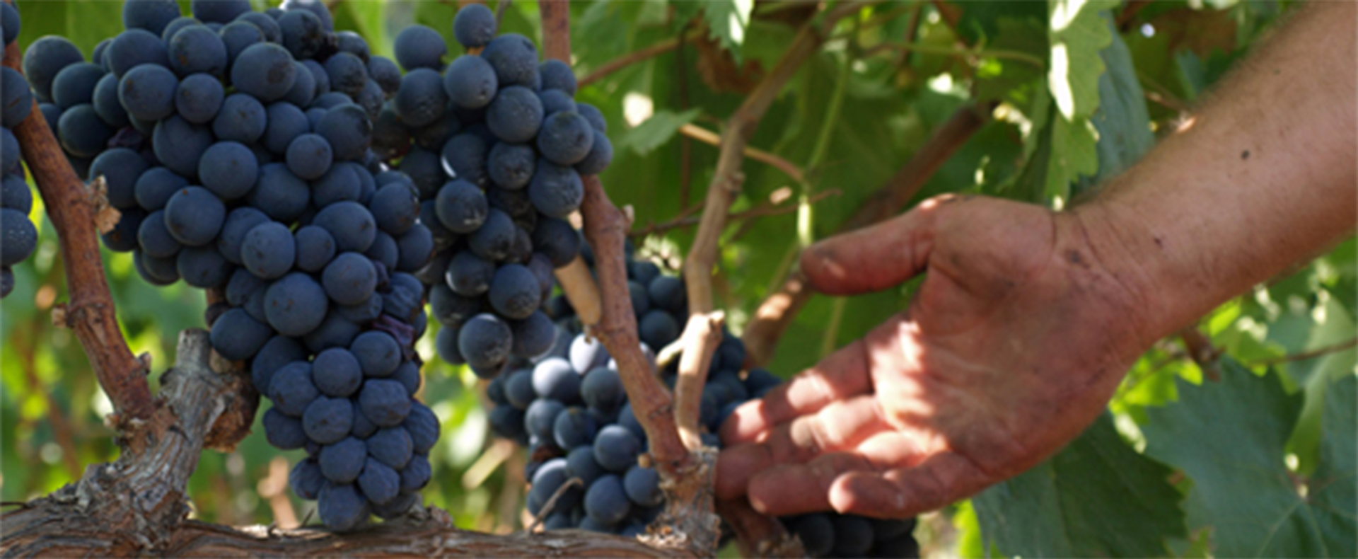 Negroamaro: Origin of the grape name