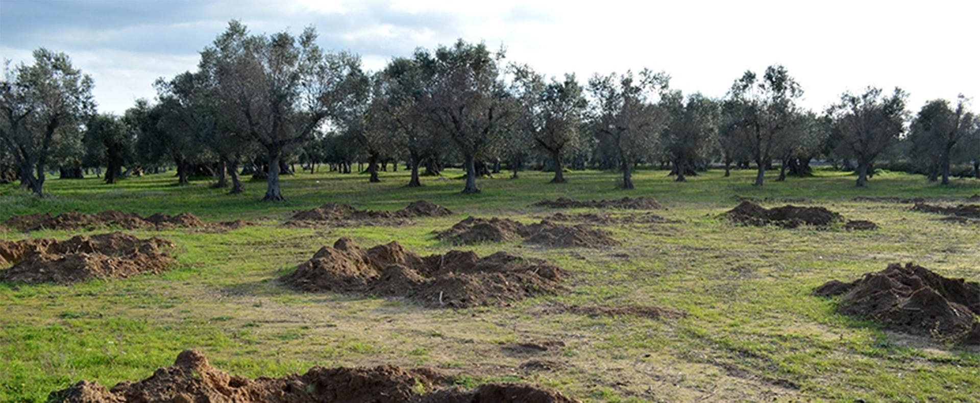 CBS Sunday Morning covers the ongoing olive oil crisis in Salento